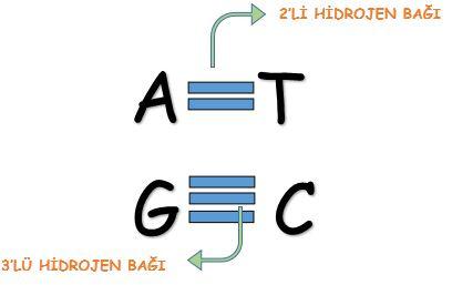 adenin-timin-guanin-sitozin