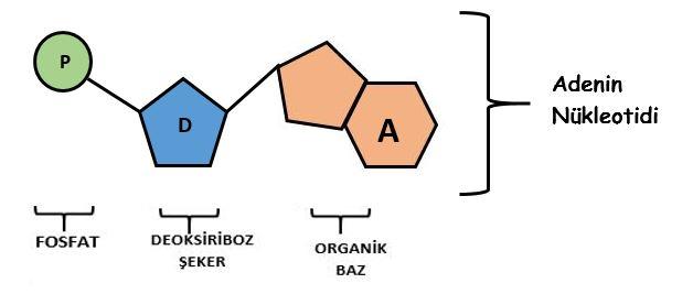 adenin-nukleotidi