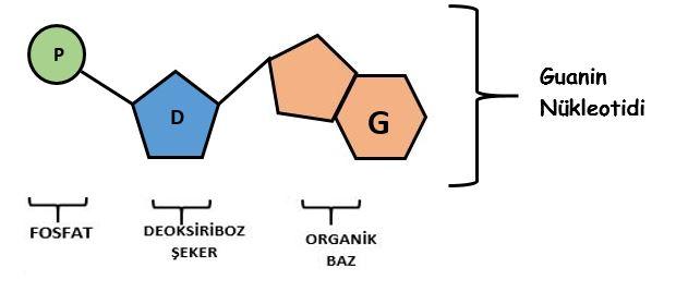 guanin-nukleotidi