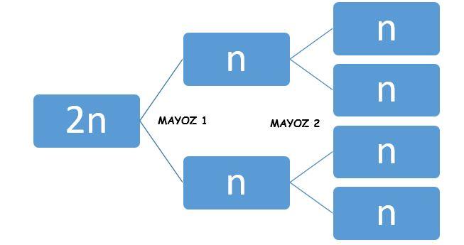 mayoz-bolunme-kisa