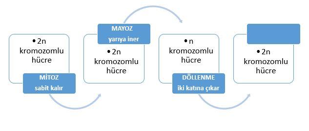 mitoz-mayoz-dollenme