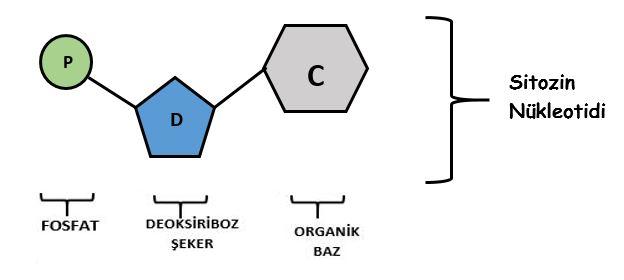 sitozin-nukleotidi