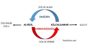 solunum-sistemi-gaz-alisverisi