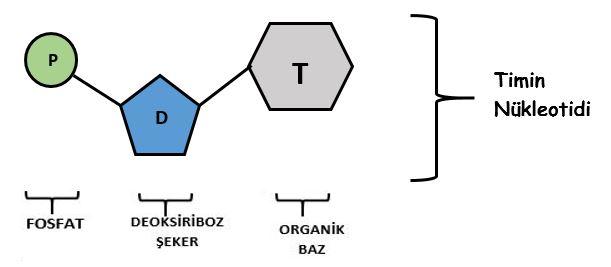 timin-nukleotidi