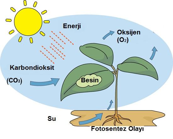 fotosentez olayı