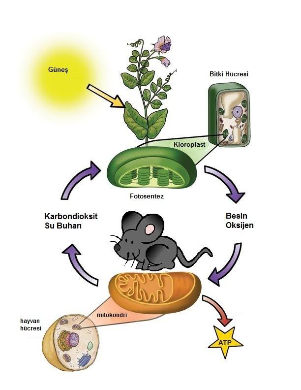 fotosentez ve solunum